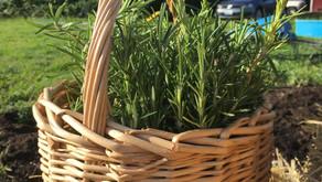 Medicinal Herb Profile: Rosemary