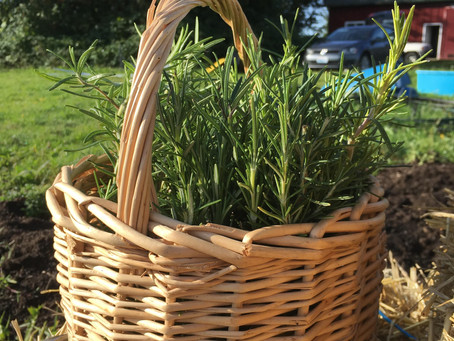 Medicinal Herb Profile: Rosemary