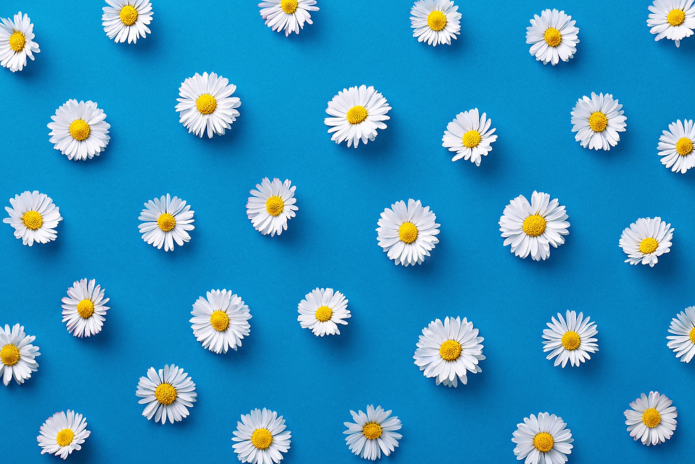 A baby blue background with white daisies and their yellow floral discs.