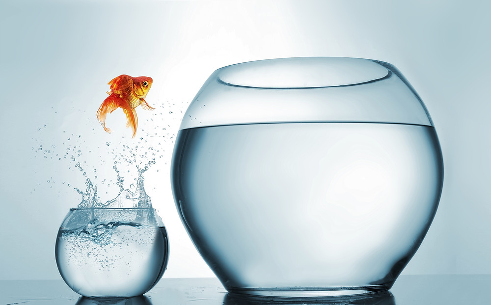 A goldfish bravely jumps upward from a tiny fish bowl and into a larger fish bowl.