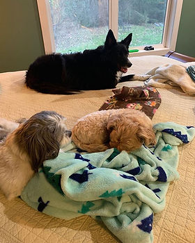 Upscale puppies lounging on our bed. The