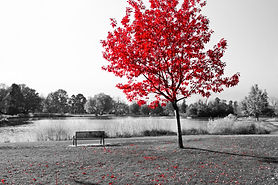 Empty park bench under red tree in black