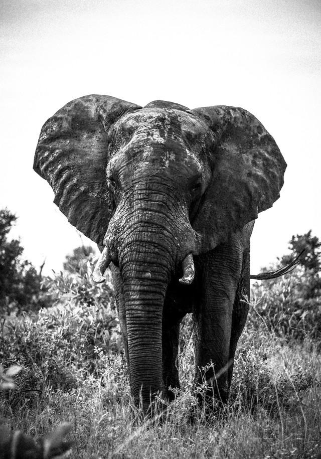 Bull African Elephant Grain