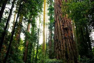 Henry Cowell Redwood State Park, CA