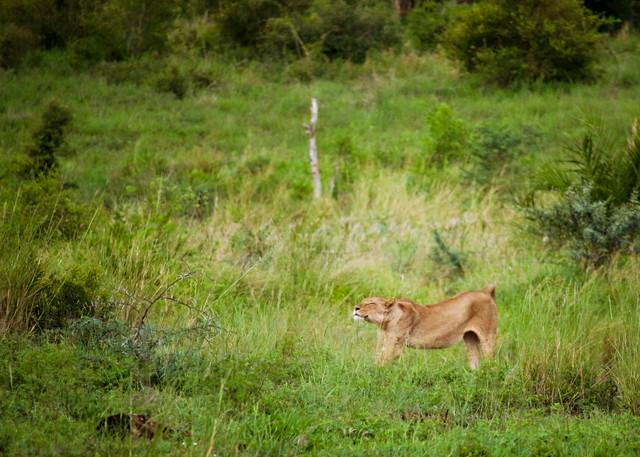 Lioness Stretch