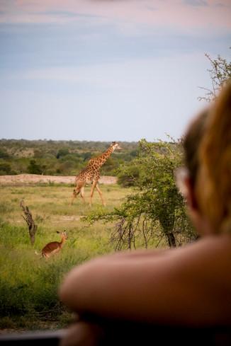 Giraffe Gazing