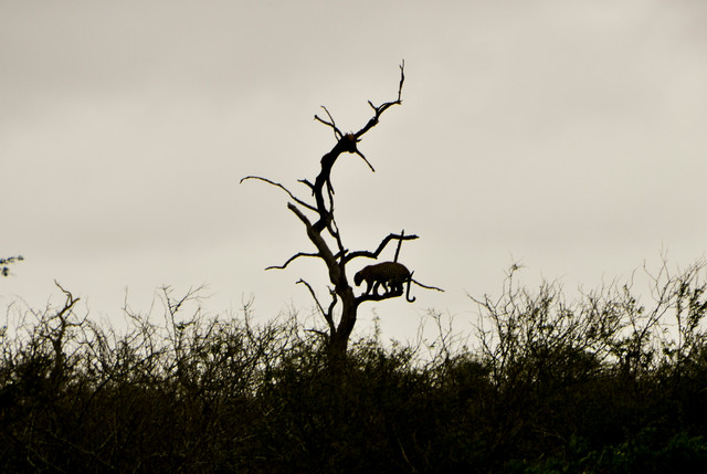 Leopard Kill Silhouette