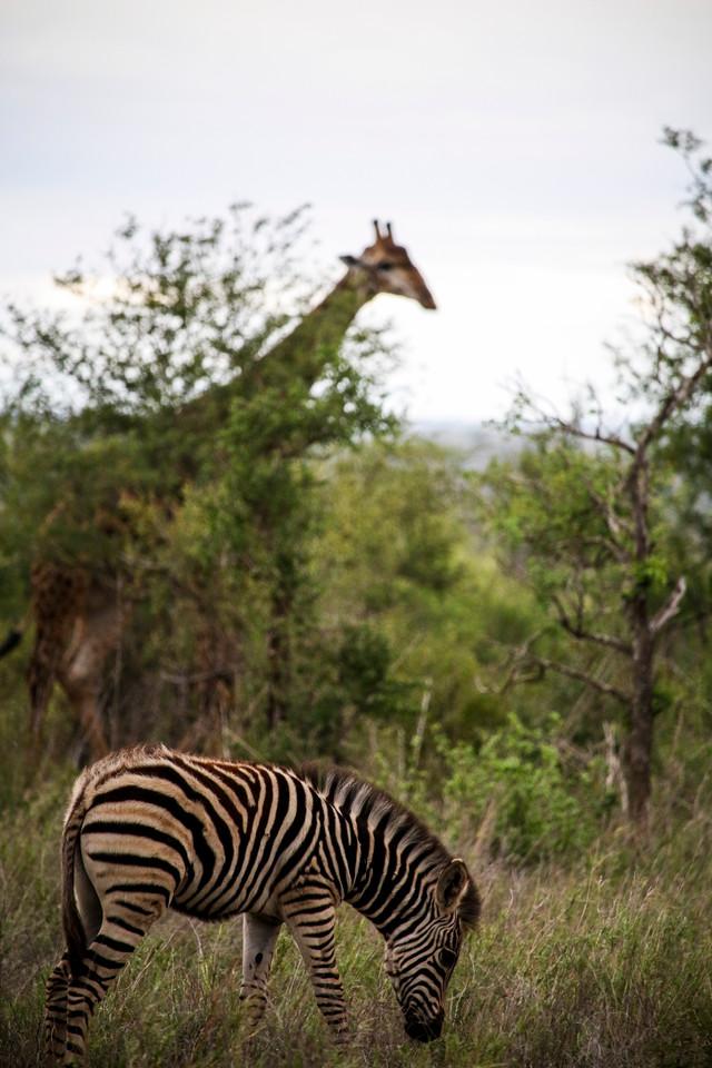 Zebra, Giraffe