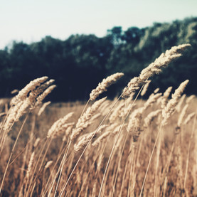 A Shock of Wheat