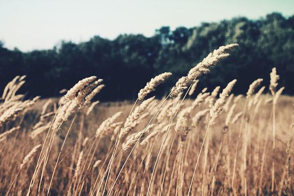 Champ de blé apaisant,Haute-savoie
