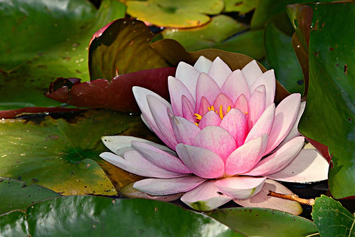 water-lily-4259171_1920.jpg
