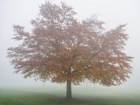 Beech in the Mist, Moss Bank Park