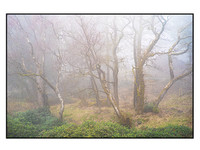 Birch Trees in the Mist