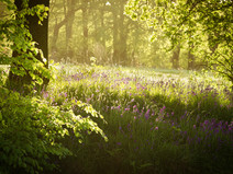 Bluebells at Smithills Country Park