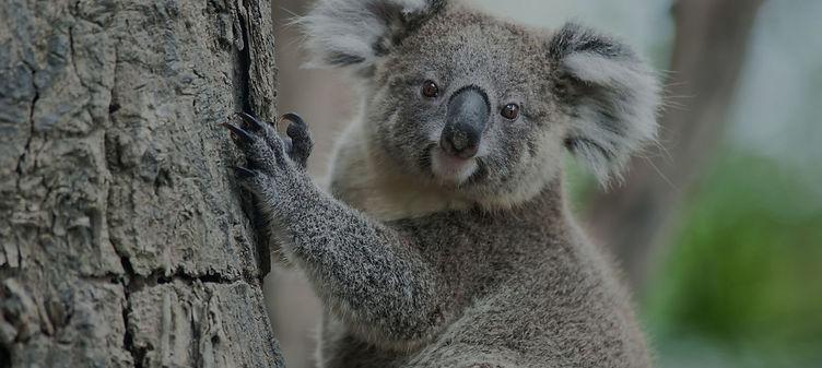 Koala Background.jpg
