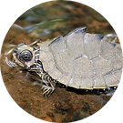 Mississippi map turtle
