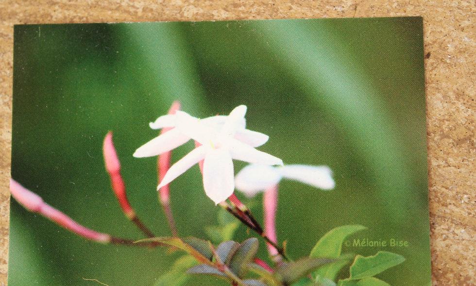 Grande carte jasmin