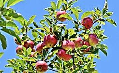 apple-3535566_640.jpg