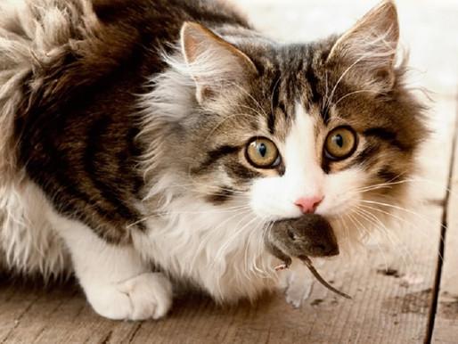 Gatos trazem animais mortos para presentear seus donos. Verdade ou Mito?