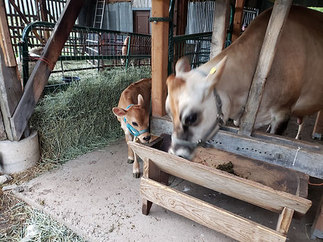 Penny and Flora at milking time 2.jpg