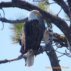 Bald Eagle-Jesky