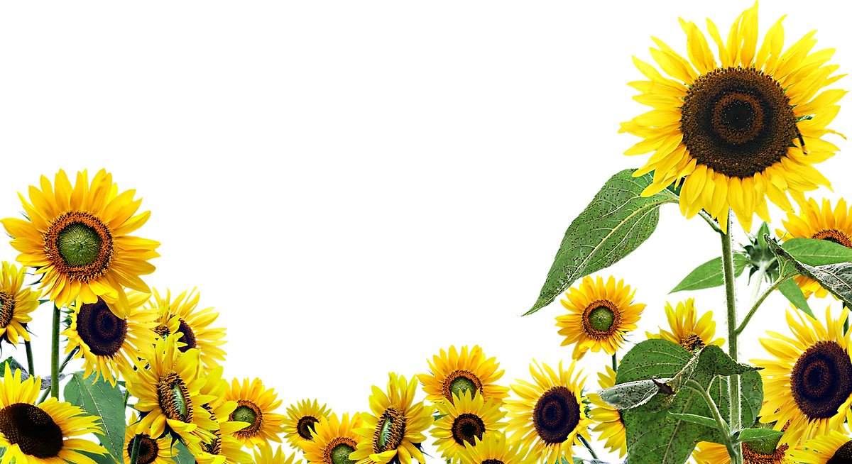 Sunflower-PNG-High-Quality-Image.png
