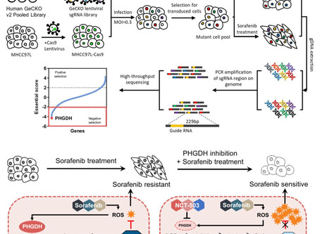 CRISPR library screening identified PHGDH as a critical driver for Sorafenib resistance in HCC