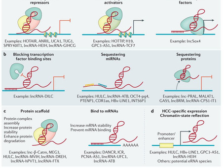 Non-coding RNA in HCC