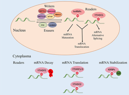 Review article on m6A deregulation in HCC