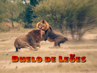 Duelo de Leões