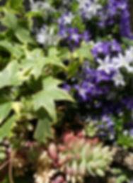 association de plantes colorées en été lierre campanules et orpins