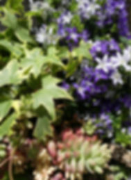 colorful plant combination in summer ivy succulent bellflower