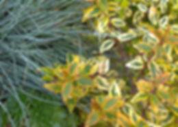 association de plantes de terrain sec persistantes abelia x grandiflora kaleidoscope sempervivum festuca glauca et elijah blue