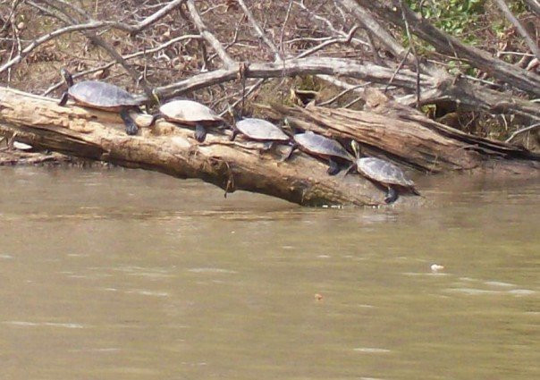 A line of 5 turtles on a log next to a river.