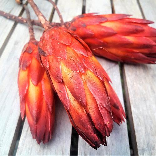 Natural, dried Protea Pendula