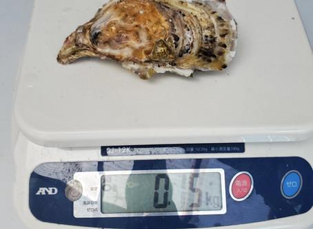 去年の4月種入れした牡蠣