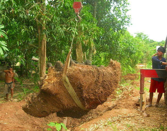 Using a crane to remove a bamboo root in Thailand.