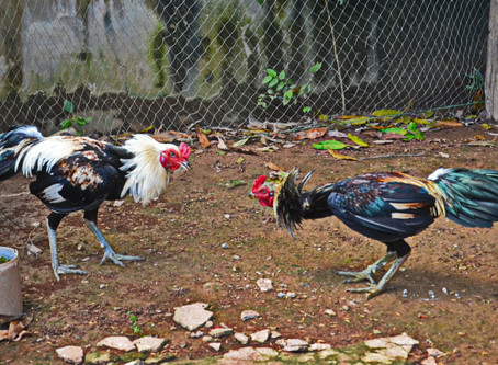 Cock Fighting in Thailand