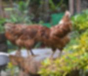 Rhode Island chickens in Thailand.