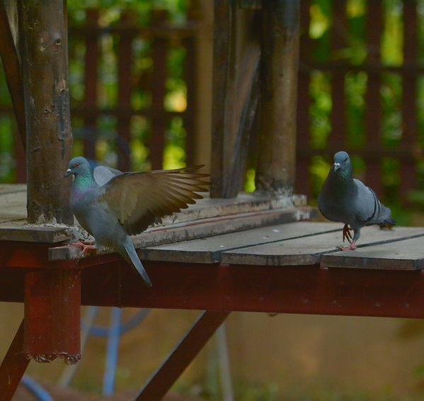 Pigeons landing in Thailand