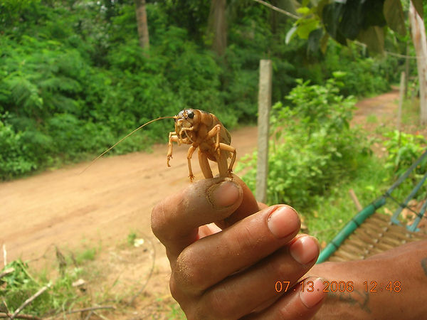 This insect will be fried for dinner in Thailan by the workers.