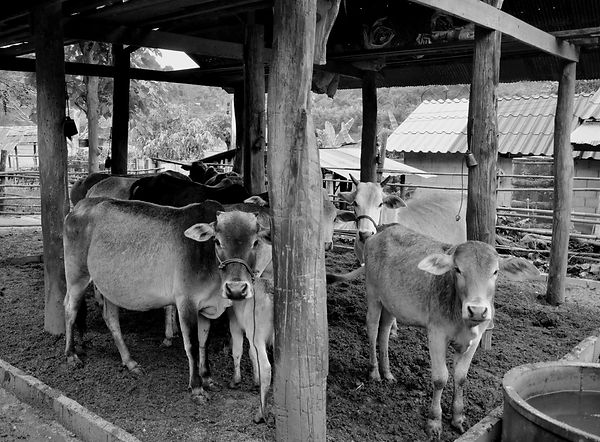 The cows in Thailand are bedding down for the night.