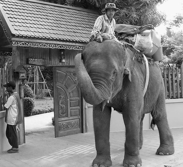 An elephant visiting D&G Resort inThailand.