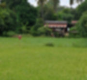 Scarecrows in a Rice Field in North/Central Thailand. This pic would have been much better with a wide angle lens.