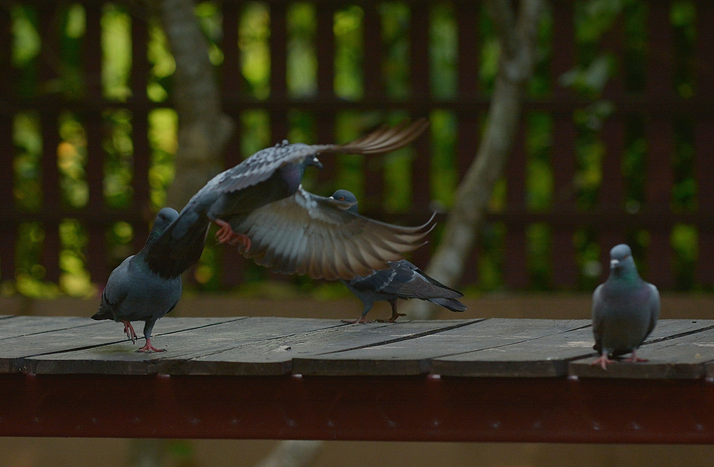 Flying Rats