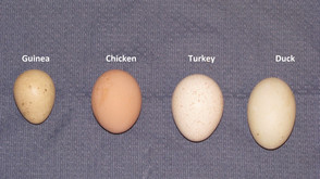 Repost: A Lesson onTurkey Eggs
