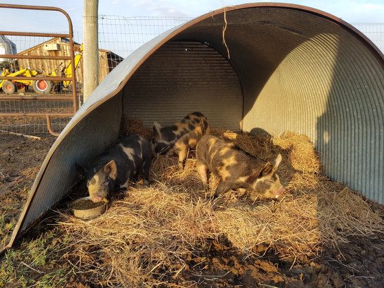 Taking the Pigs to Market