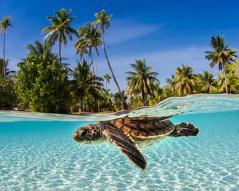 Boat Charters St Thomas _ Phoenix Island Charters _ turtle near the beach.jpg