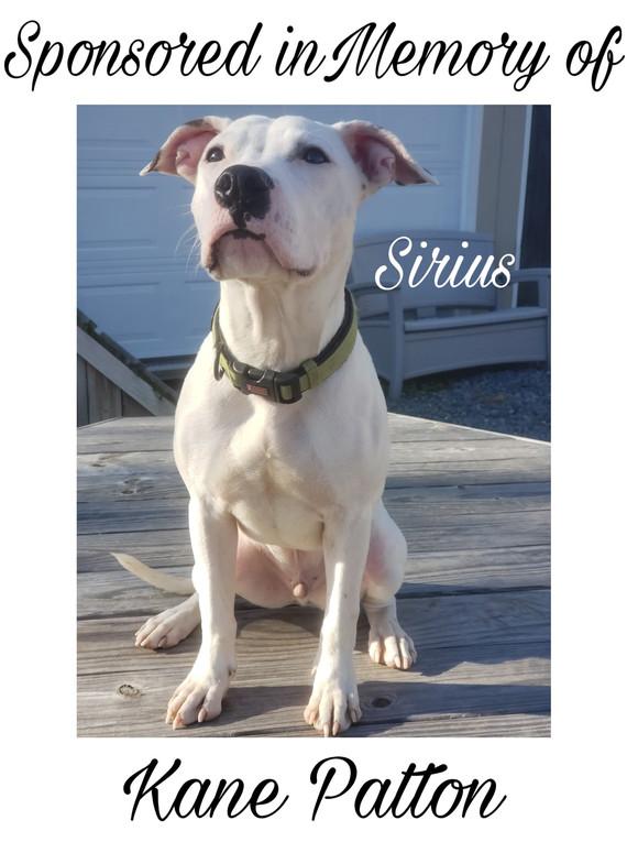Sirius 8 Month pit/mix adoptable dog