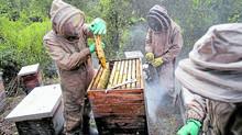 Radican proyecto que busca ser salvavidas para las abejas de Colombia